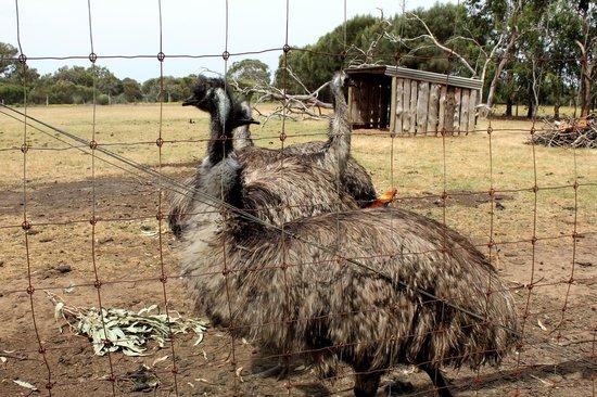 Parndana Wildlife Park: Emu