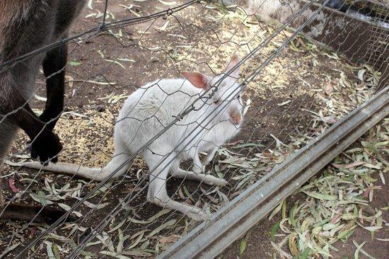Parndana Wildlife Park: White Kangaroo