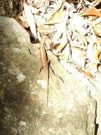 Thala Beach Nature Reserve: skink!