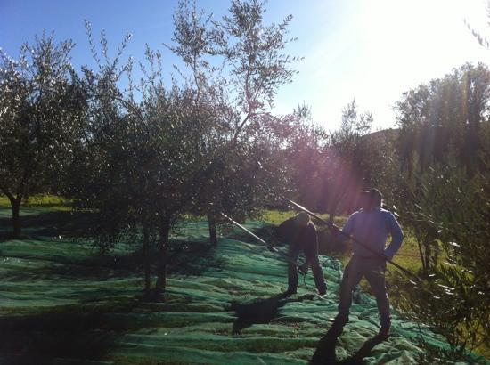 Agriturismo Tara: olives