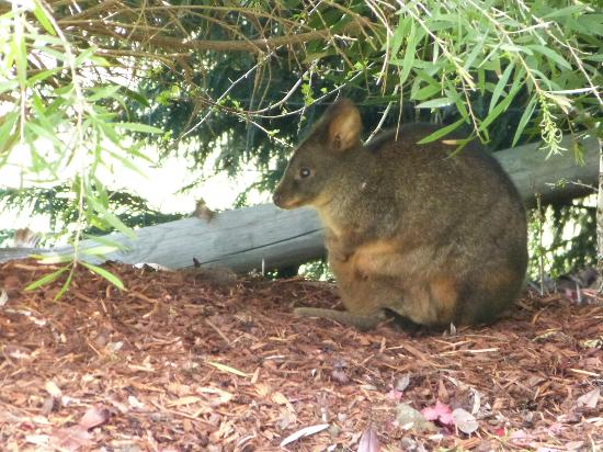 Launceston Bed and Breakfast Retreat: Many wallabies can be seen in the back yard