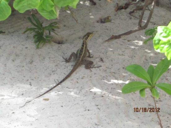 Portofino Beach Resort: lizard