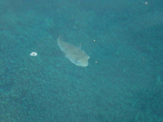 Manava Beach Resort & Spa - Moorea: Puffer fish that was at our bungalow every morning