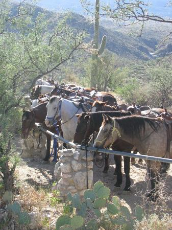 Tanque Verde Ranch: Horses resting