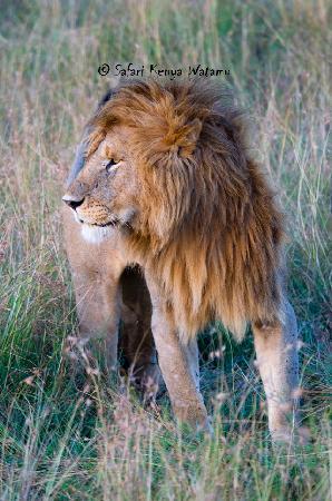 Safari Kenya Watamu - Day Tours: Leone al Masai mara