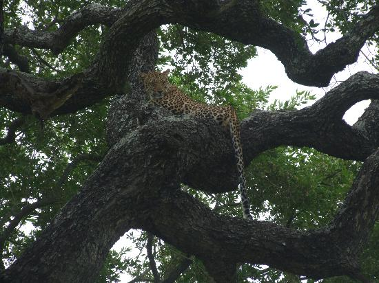 Dulini Leadwood Lodge: One of many Leopards!
