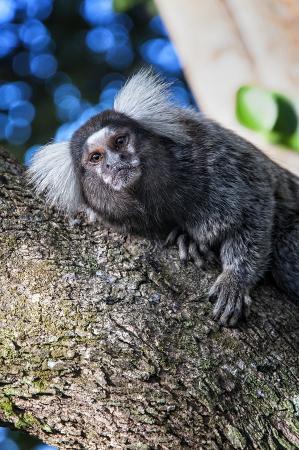 Santuario Ecologico de Pipa: Saguis mono ~ Calitrix jaccus en el santuario desierto en Praia da Pipa, Brasil.