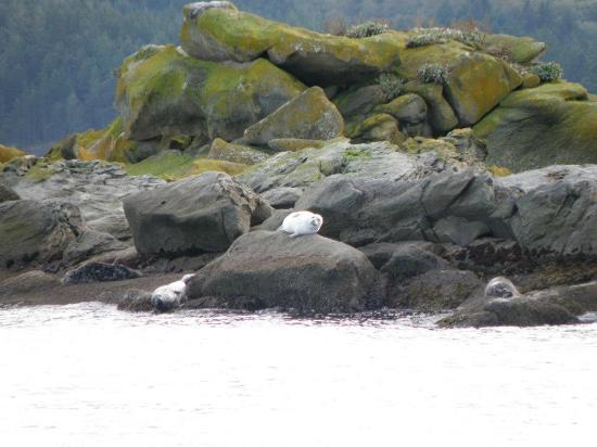 Steveston Seabreeze Adventures & Whale Watching: Seals, such cuties : )