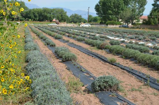 Los Poblanos Historic Inn & Organic Farm: View of lavender fields