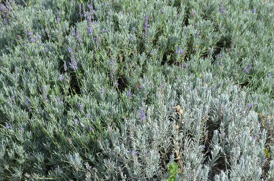 Los Poblanos Historic Inn & Organic Farm: lavender smells are free