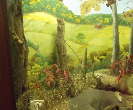 Museum of Natural History: Badgers