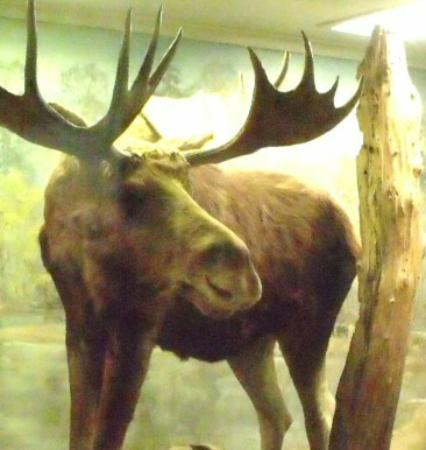 Museum of Natural History: Moose