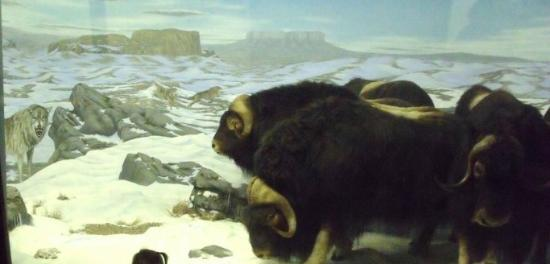 Museum of Natural History: Musk Oxen