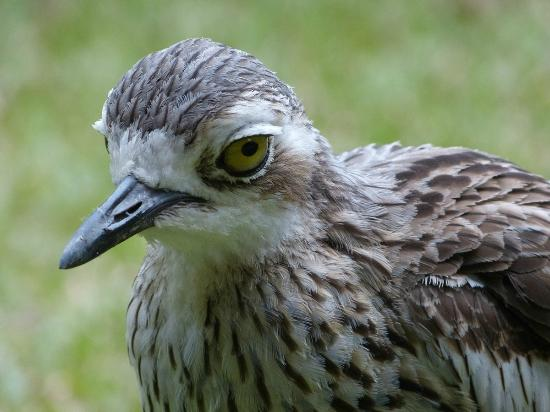 Mountain View Lodge: Bush Stone Curlew in hotel garden