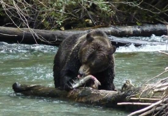 Aboriginal Journeys Wildlife and Adventure Tours : Grizzly feasting on a salmon