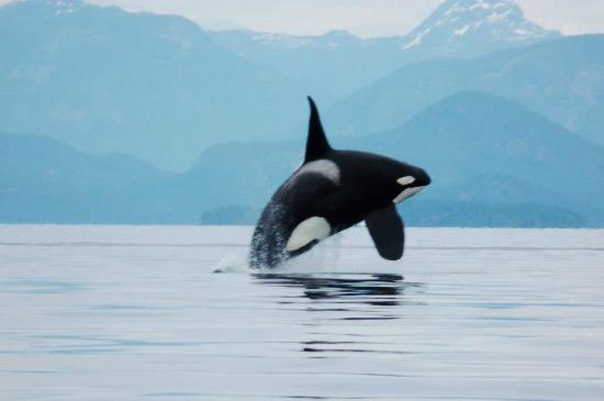 Aboriginal Journeys Wildlife and Adventure Tours: Orca Breaching