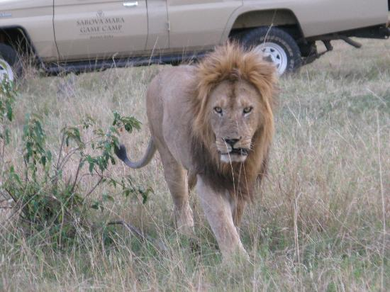 Sarova Mara Game Camp : I see you.