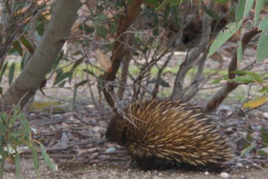 Hanson Bay Wildlife Sanctuary: Echidna at Hanson Bay