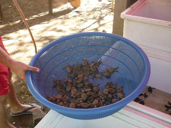 Playa Hermosa Surf Camp: tortugas listas para ser liberadas