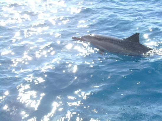Hawaiian Rafting Adventures : Spinner Dolphin