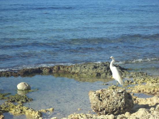 Viva Wyndham Dominicus Beach : Ave en las rocas de la playa