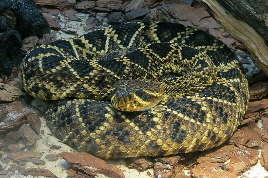 Eastern Diamondback Rattlesnake - Picture of North Carolina