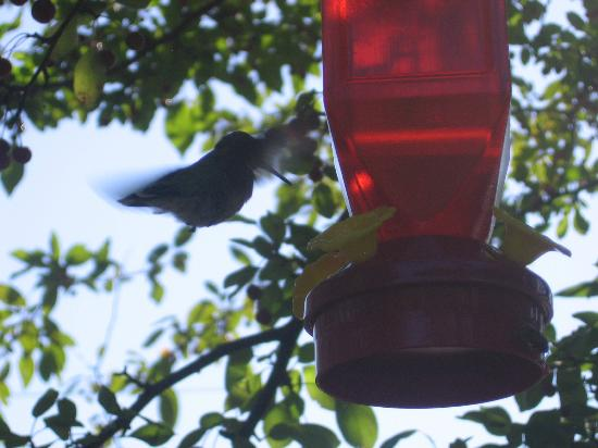 Abbey's High Street Bed and Breakfast: Hummingbird feeding in backyard gardens