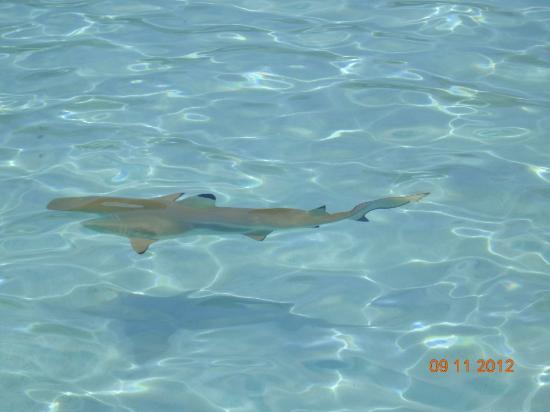 Hiro's Tour: Requin pointe noire