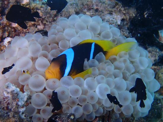 Imperial Shams Resort: Snorkeling at old peers - nemo fish