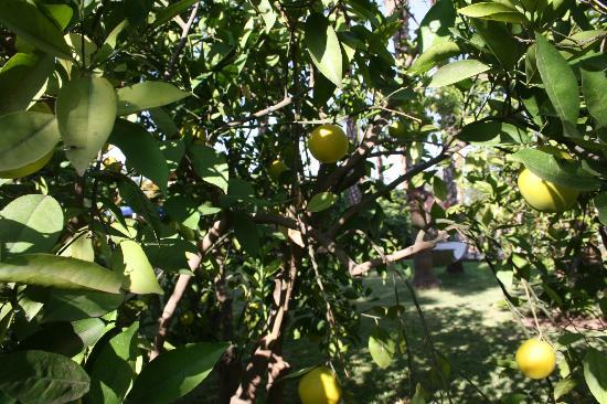 Casa Taos: lemons