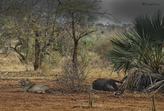 Rhino River Camp: leone con preda 
