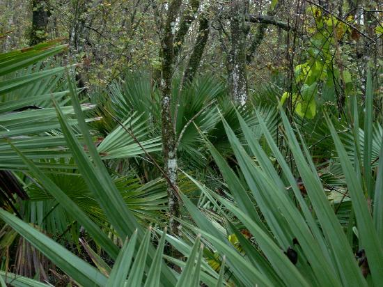 Jean Lafitte National Historical Park and Preserve: palmetto