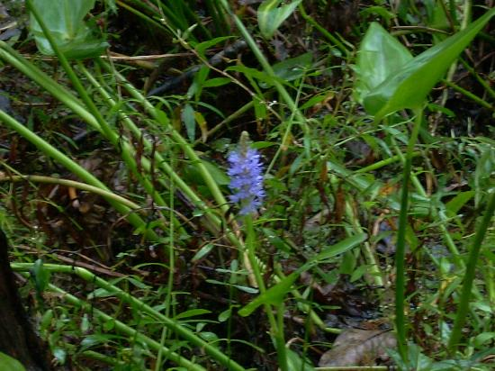 Jean Lafitte National Historical Park and Preserve: swamp flower