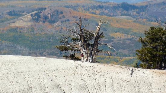 Cedar City, UT: Bristlecone Pine