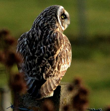 Buxa Farm Chalets & Croft House: Short eared owl is a resident of Buxa Farm