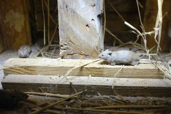 Musee d'Histoire Naturelle: Mäuse