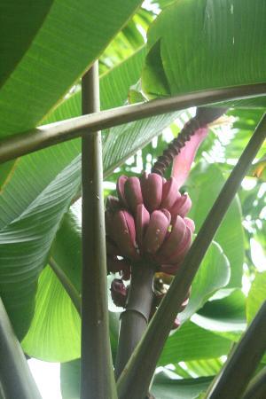 THE SPA KOHCHANG RADIANCE RESTAURANT: pink bananas