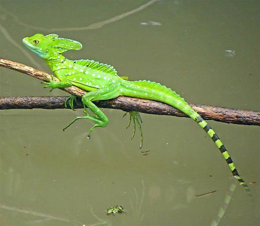 Jesus Christ Lizard Picture Of Cano Negro Wildlife Refuge Cano Negro Tripadvisor
