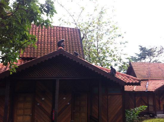 برجايا لانجكاوي ريزورت - ماليزيا: Monkeys on our roof 