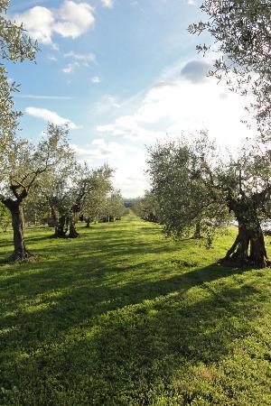Agriturismo La Sosta di Annibale : esterno con olivi