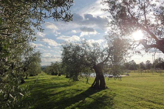 Agriturismo La Sosta di Annibale: olivi con piscina sullo sfondo