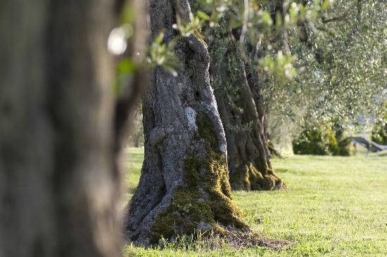 Agriturismo La Sosta di Annibale: olivi, particolare