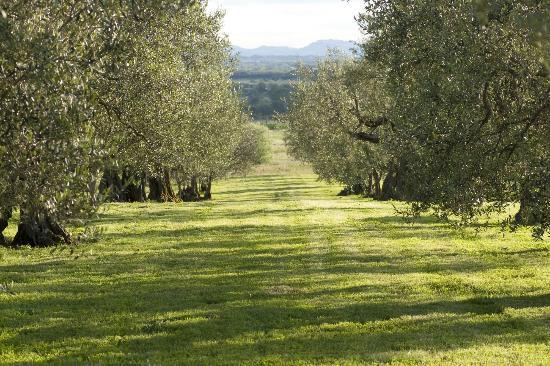 Agriturismo La Sosta di Annibale: esterno con olivi