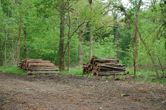 Savernake Forest: A recently cleared area