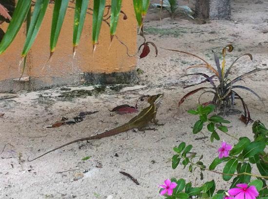 Portofino Beach Resort: Tipical iguana