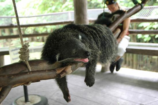 Flight of the Gibbon: Binturong at Khao Kheo Open Zoo 