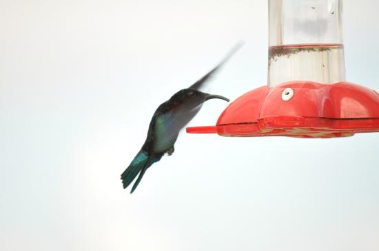 Gingerbread Hill: The humming bird feeder had nonstop action at certain times of the day