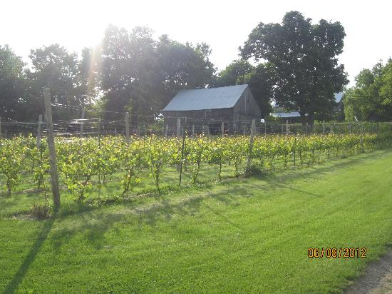 Howe Island B&B: Vineyard and old barn