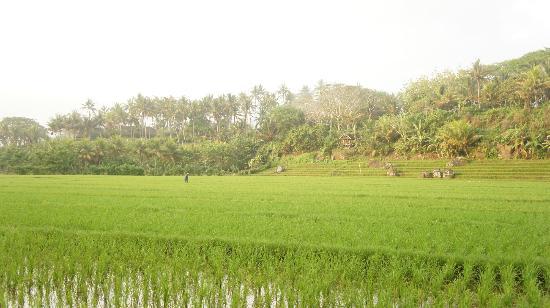 Balian Villa: Прогулка по рисовым полям