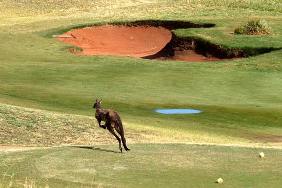 Links Lady Bay Resort: Do kangaroos play golf?